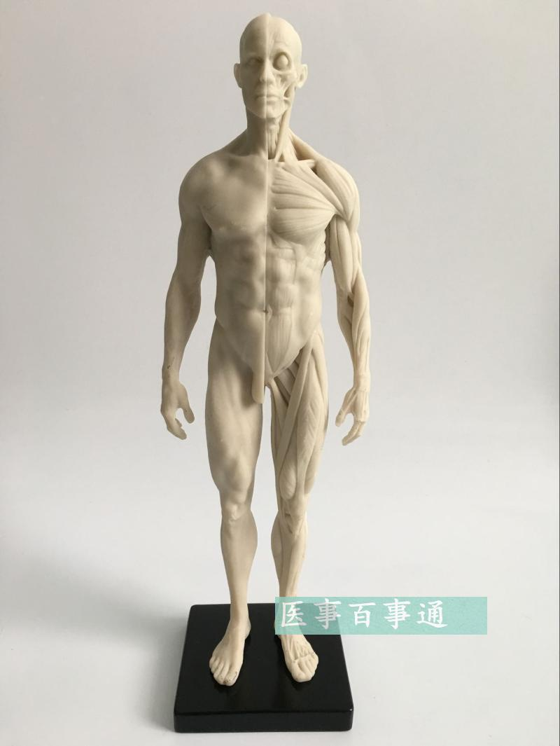 30cm Resin White CG Painting Sculpture Male Model Musculoskeletal Anatomy Human Body Structure Art Model Free Shopping