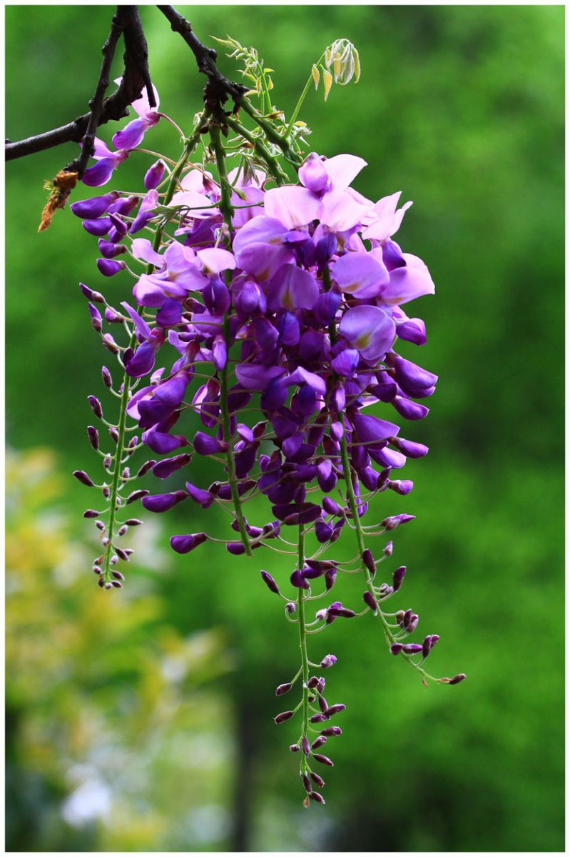 10pc Purple Wisteria Seeds The Most Beautiful Flower Garden Corridor