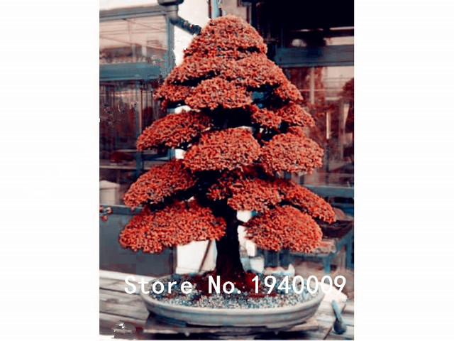 30 pz Bonsai Giapponese Albero di Cedro Albero Ornamentale Bonsai Everygreen Woody Per La Casa Vaso Da Giardino Semillas bonsais planta albero