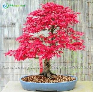 Hot Selling 20 Beautiful Japanese Red Maple Bonsai Seed