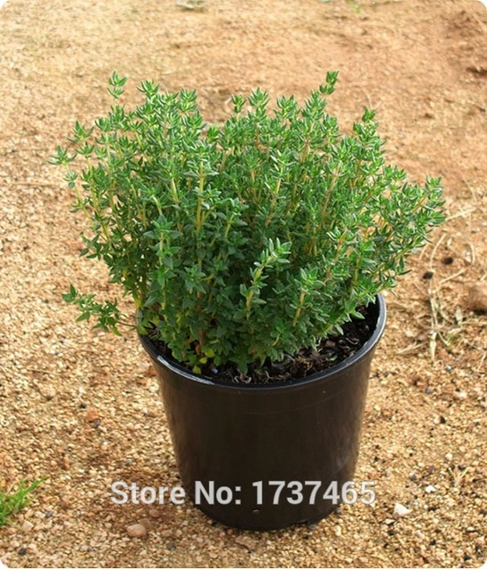 Tomillo francés Real 20 piezas, tomillo de verano, thumus vulgaris, plantas en macetas de vainilla jardín de casa envío gratis