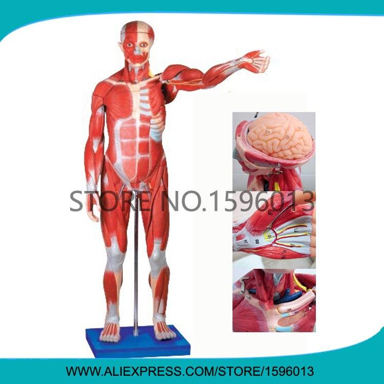 Расширенный 170 см полный корпус и модель мускулов, мышечная анатомическая модель