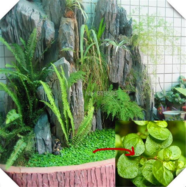 Trifolium Linn Semillas De Hierba Verde Exterior Jardin Las Plantas - Plantas-verdes-exterior