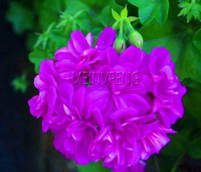 Gran oferta! Land Miracle 5 uds raro geranio planta tulipán púrpura Pelargonium planta bonsái en maceta rara Planta robusta perenne # UVECKT