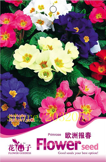 Original pack Multicolor European Primrose Seeds Primula rare Flower seeds for home Garden Plants