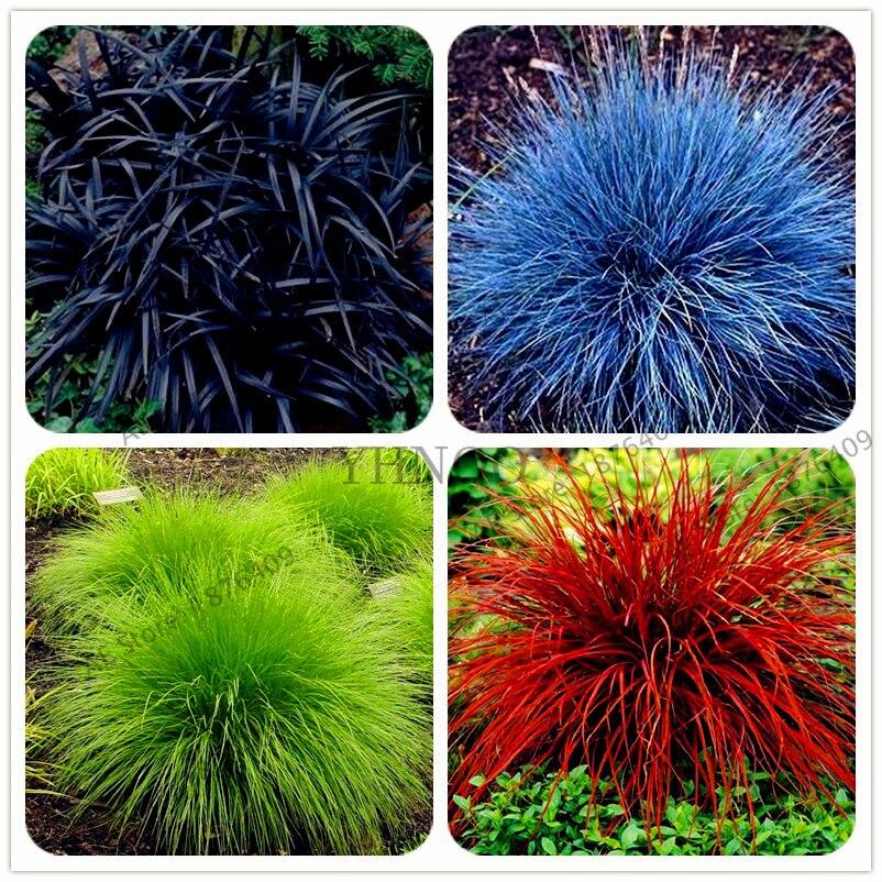 100pcs mixed color fescue grass bonsai  festuca glauca  perennial hardy ornamental grass easy to