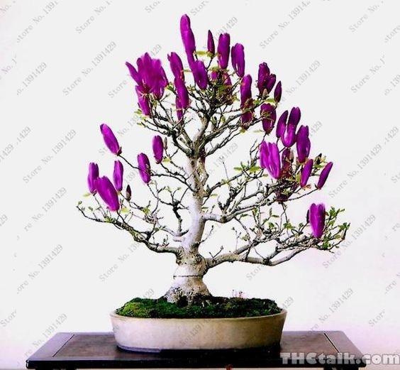 20 Pcs Purple Olive Bonsai Tree (Olea Europaea) Seeds, Bonsai Mini Olive  Tree