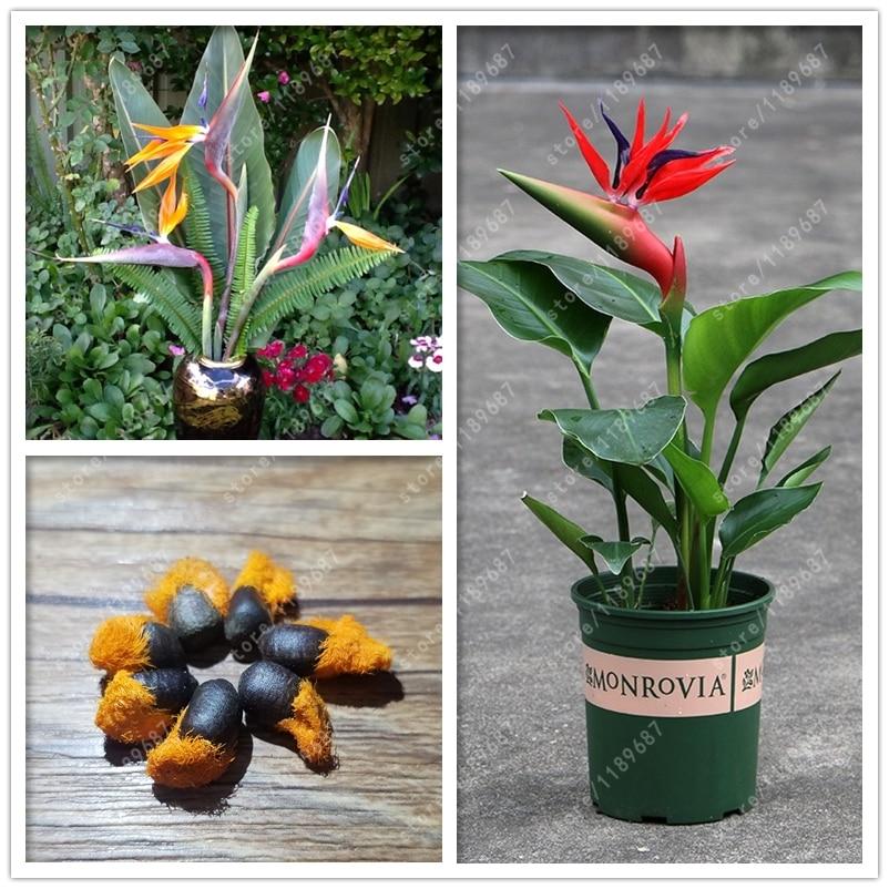Garden Pots & Planters Garden Supplies Real Import Strelitzia Flower Two Colors Strelitzia Flowers For Garden Decoration Plant Potted Bonsai 2 Pcs/bag Yet Not Vulgar