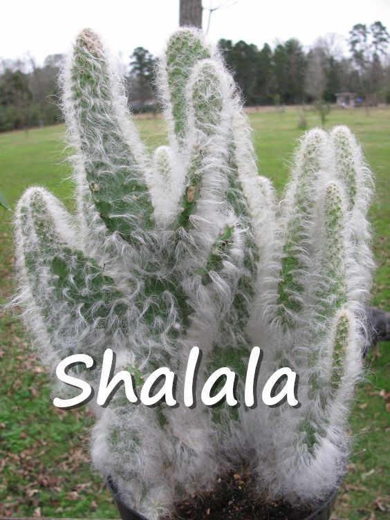 200 шт Редкие в африканском стиле кактус растения 5-метровая высокое растение суккулент дерево очистить воздушный бонсай теплостойкий Легкий расти для сада