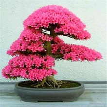 New Arrival  5pcs Cerasus sp. bonsais Cherry blossoms Perennial Flower for Garden in Bonsai