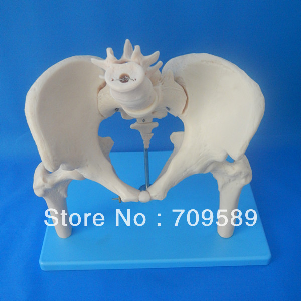 ISO Pelvis Model with spine and femoral head, Anatomic Pelvis iso anatomy pelvis model median section of female pelvis model