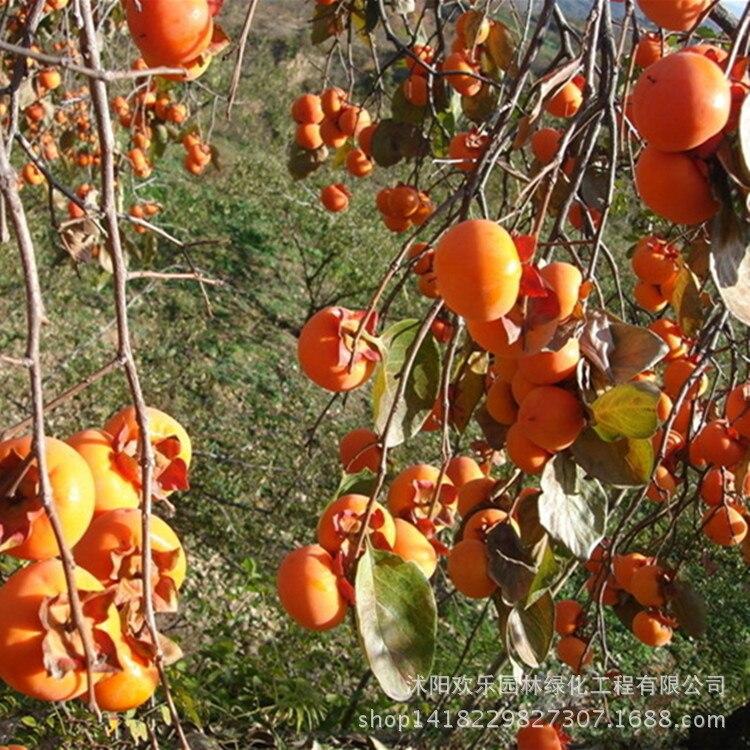 Luotiantianshi прямые качественные сорта фрукт-хурма оптом пятно 30 шт./упак.