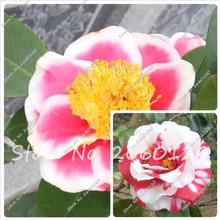 100% Real 50 pieces/bag, Common Natural Camellia Seeds Potted Flowers Indoor &Outdoor Plant 14 Colors Available AAAA