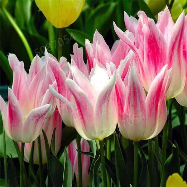 100 ピース/バッグホット虹チューリップ盆栽レア花多年生植物家の中庭美化盆栽