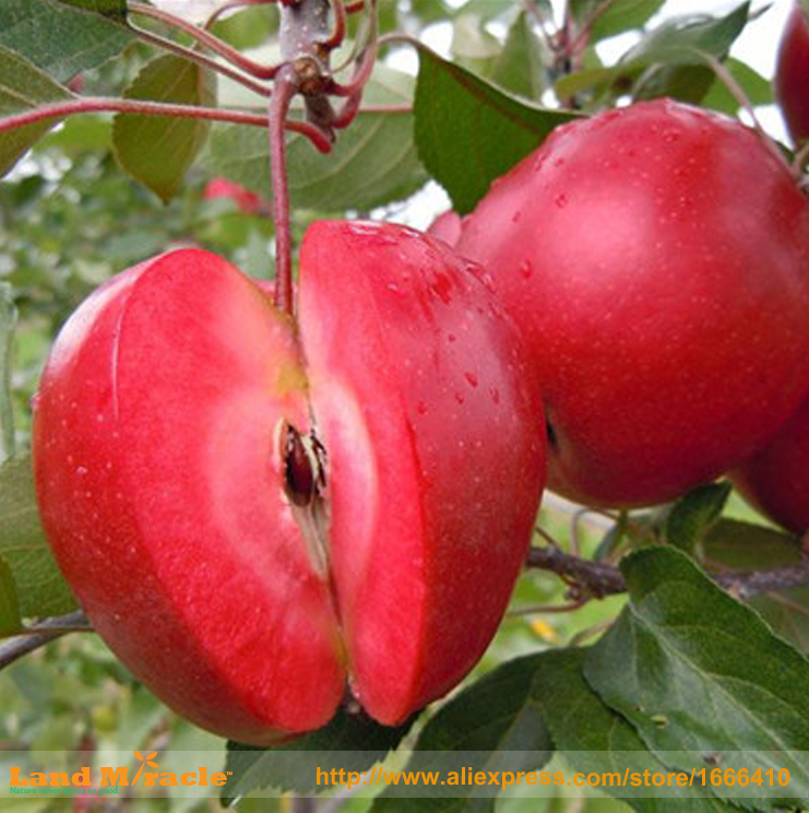 20 Seeds / Pack, Apple Red Apple Fruit Love Red Meat, Potted Fruit Trees Can Be Planted Fruit Trees for FUN, SOW ALL YEAR!