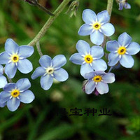 Blue Forget Forget Me Flower Seeds Ornamental Flower Seeds Balcony Potted Plants Easy To Plant Flowers And Green Plants 100Seeds
