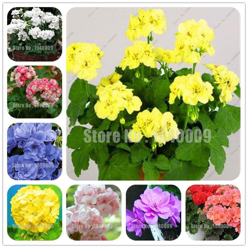 Best-Selling! 100Pcs/Bag True Geranium Plant Bonsai Cheap Pelargonium Perennial Garden Flowers Peltatum Bonsai Potted Geraniums