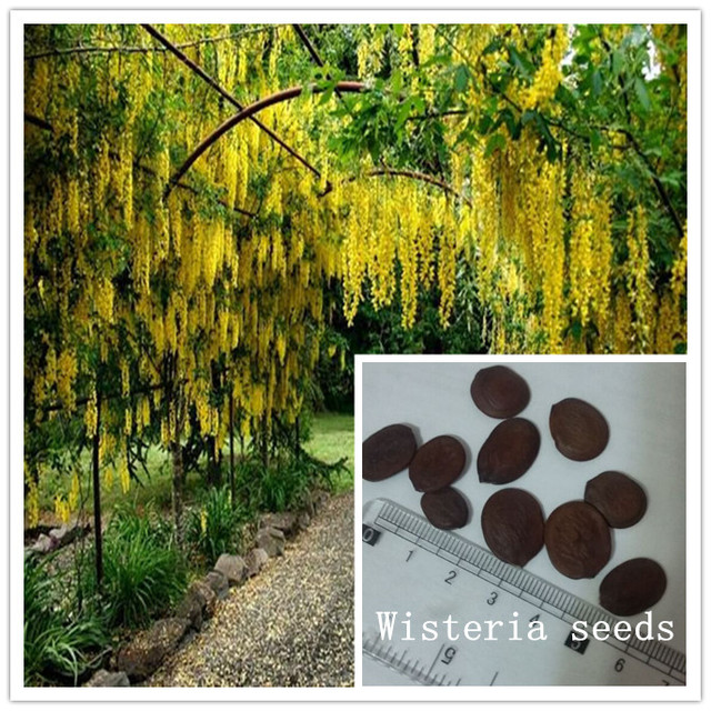 Grande treille enroulement jaune wisteria graines 10 PC ornementale ...