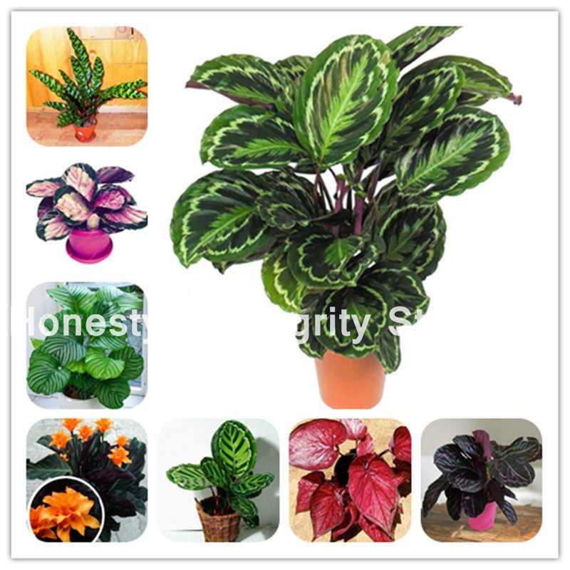 1 كيس = 200 قطعة حار تايلاند Caladium ذو لونين بونساي شرفة زهرة نادرة الأعشاب المعمرة النباتية الملونة ورقة Diy المنزل والحديقة