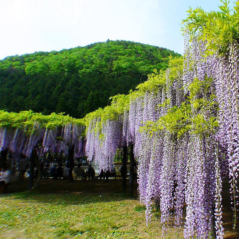 venta caliente planta de los bonsai blanco y prpura de las glicinias semillas de rboles