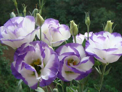Hot Sale 2015 20 Colors Rare eustoma seeds Flower Seeds 50pc/pack Bonsai Seeds for Home & Garden Free Shipping