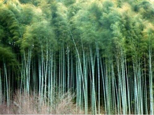 Acquista all 39 ingrosso online gigante di bamb da grossisti for Semi bambu gigante