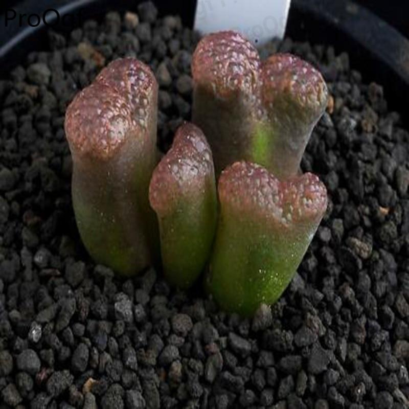 100Pcs A Set pellucidum concordia(China)
