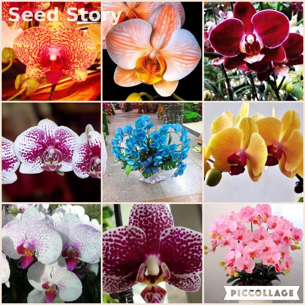 orchid plants diy plant flower phalaenopsis Sementes * 2016 home bonsai plants Rainbow Orchids bonsai 30 PCS buy 2bags+ rose gif