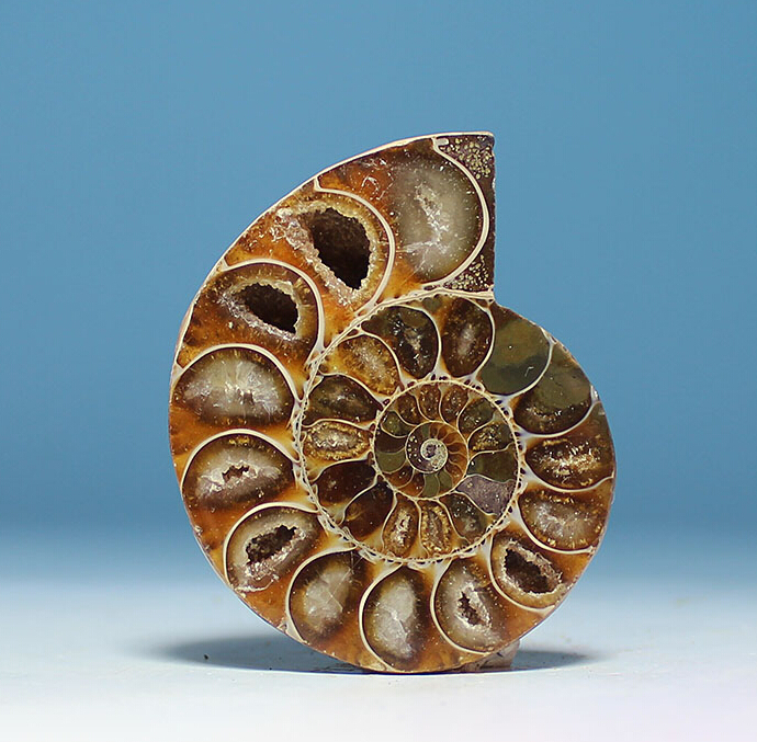 FOSSIL MADAGASCAR AMMONITE - SIZE 30 - 40mm