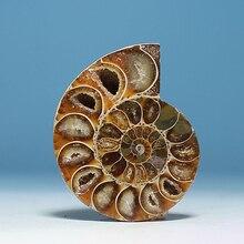 AA++ аммонит PRETTY NAUTILUS мадагаскарский окаменелый с лечебным действием, образцы 30 мм- 40 мм