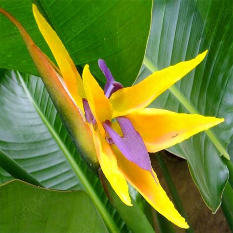 100pcs/bag Strelitzia flower Bonsai plants heaven bird flower perennial indoor flowering potted plants for home garden plants