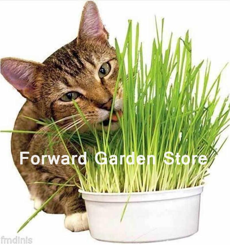 1000 Adet Kedi Çim Bonsai Bitki Yenilebilir Limon Mutfak Sebze Saksı Bitki Tıbbi Kullanım Graines Baklagiller Potager Ücretsiz Kargo