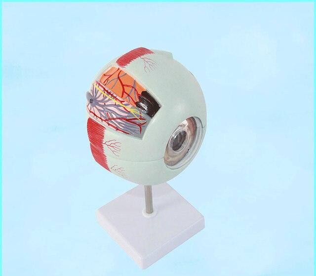 Ampliar 6X de tamaño plástico ojo modelo anatomía en 6 piezas de PVC ...