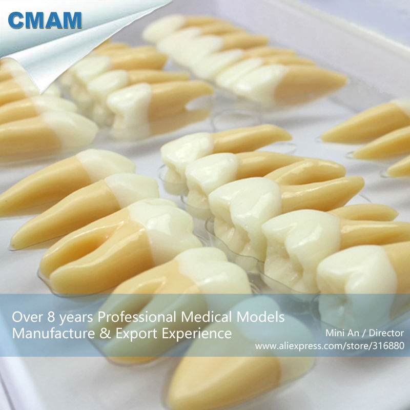 CMAM-TOOTH06 Set of Human Dental Study Model of Individual Permanent Teeth simranjeet kaur amaninder singh and pranav gupta surface properties of dental materials under simulated tooth wear