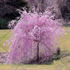 20 шт./пакет фонтан плакучая вишня, DIY семейный сад кустарник дерево Сакура Бонсай завод, сад декоративное растение бонсай