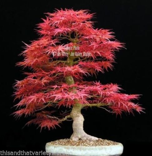 Rouge feuille d 39 rable arbre achetez des lots petit prix - Arce rubrum bonsai ...