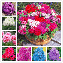 100pcs/bag phlox flowers phlox seeds bonsai flower seeds phlox drummondii potted plant for home garden