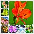 Подлинная! 100 Шт./пакет Перуанские лилии семена главная садовые цветы бонсай горшках