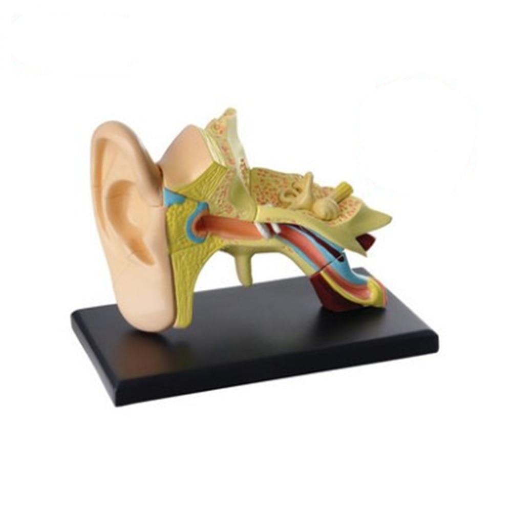 3D mini Menschliche Ohr Anatolly Modell 14 stücke Montiert Anatomie ...