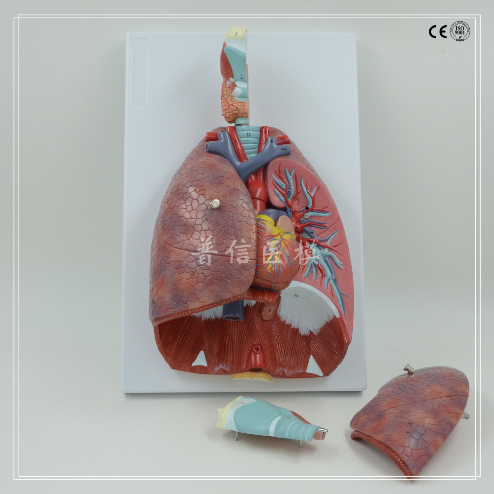 human respiratory system anatomical model respiratory tract,throat,lung,heart model Medical Science teaching supplies lung model with larynx and heart 7 parts advanced lung and heart model respiratory system model