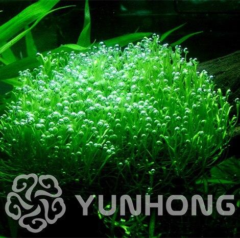 200pcs Antlers Moss Seeds,Sagina Subulata Seeds,Bonsai Moss Decorative Grass Seeds,Potted Plant For DIY Home Garden