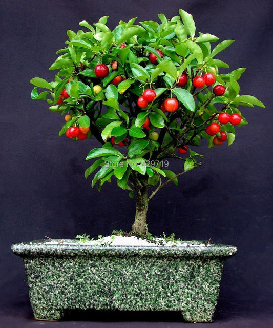 cereza fruta bonsai semillas de cereza para jardineras macetas bonsai exterior hermosas flores y cherrys