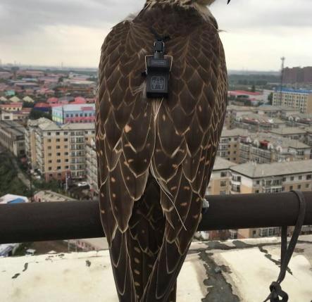 Falconry Bell Small Bell Tracker Pine Nut Sqarow Hawk Eaglet Falconet Back Board Eurasian Kestrel Male Female Hunter Hunting