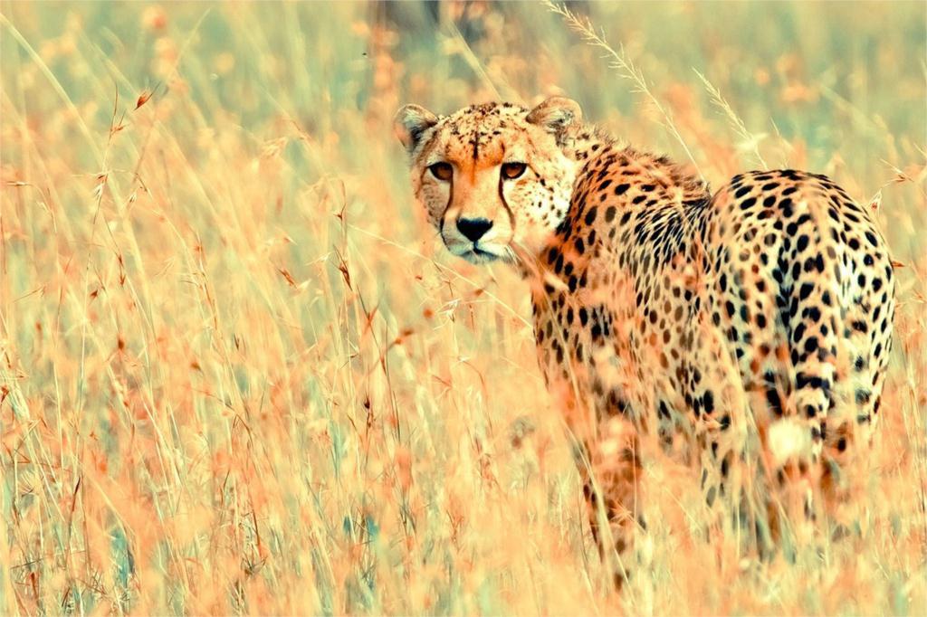 DIY marco guepardos leopardo en La Selva animal posters e ...