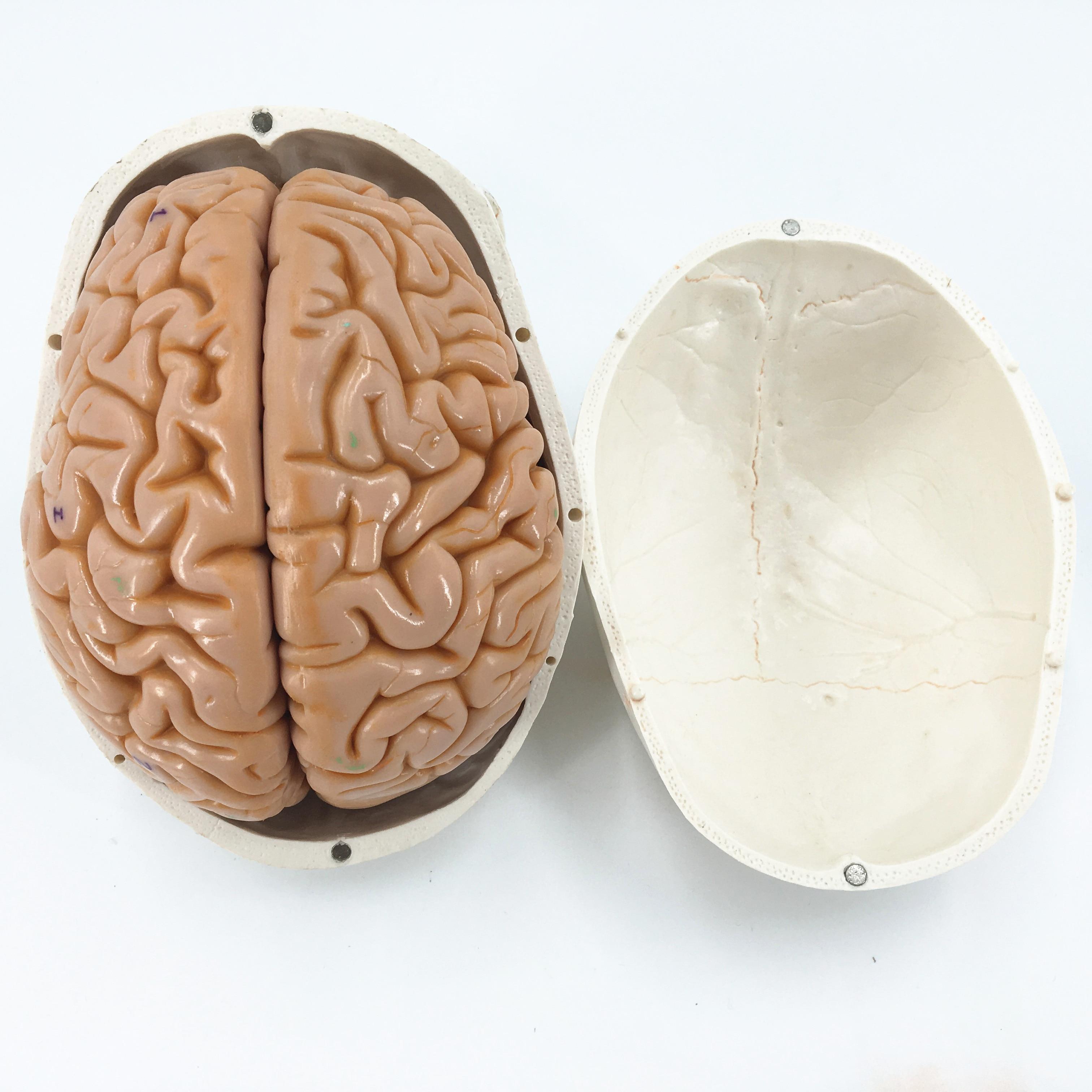 skull model brain neurology craniocerebral anatomy model with ...