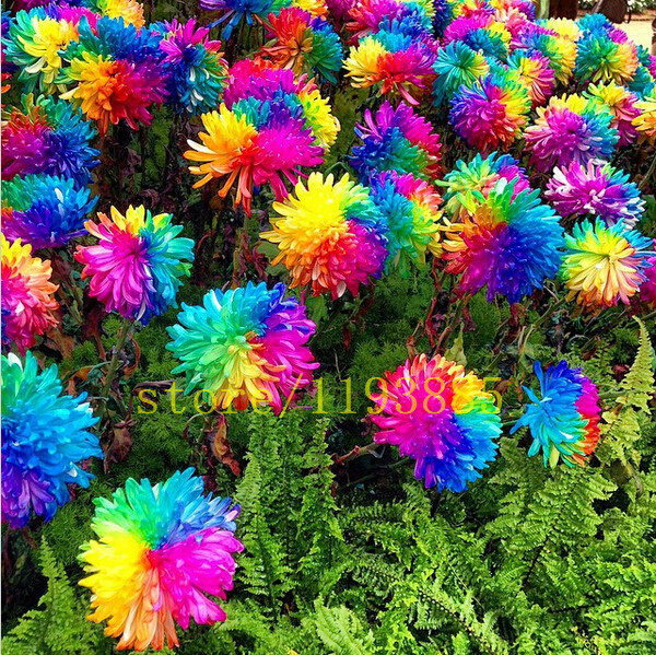 100 pcs Rainbow Chrysanthemum Flower Seeds rare color new arrival