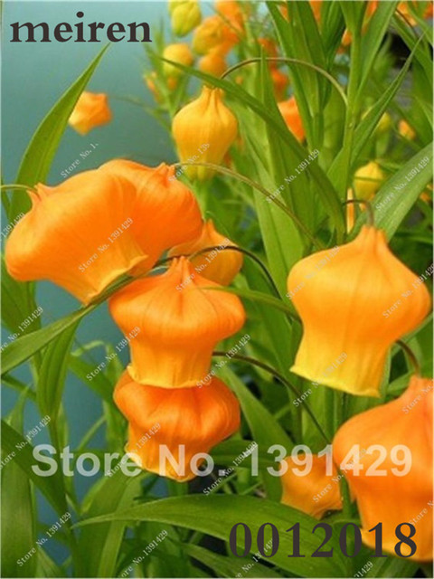 Campanula Flower Seeds (500 Pieces)
