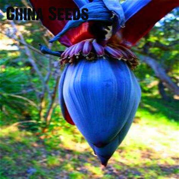 100 Pcs Bag Mini Pisang Bonsai Buah Tropis Bonsai Pisang Pot Plantas Rumah Buah Rumah Taman Dekorasi