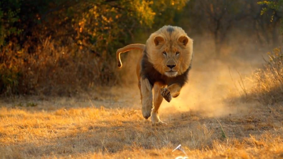 猛スピードで走りだすライオン