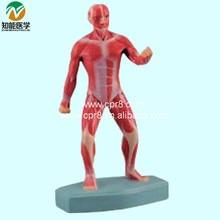 BIX-A1032  Human Superficial Motion Muscles Mode G121l